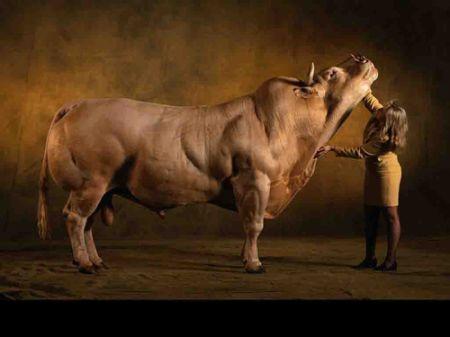 Порода коров Belgian Blue (40 фото + 4 видео)