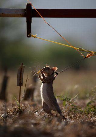 Крысы из которых делают саперов (13 фото)