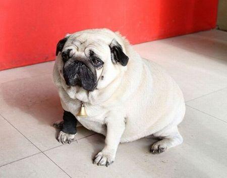 Самый толстый мопс в мире (3 фото)