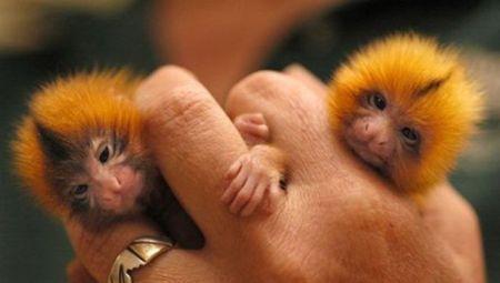 Карликовая игрунка или пальчиковая обезьяна (Finger Monkey) (16 фото + 1 видео)