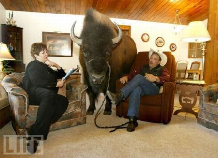 Домашнее животное буйвол (18 фото)