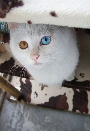 Кот с разными глазами (7 фото)