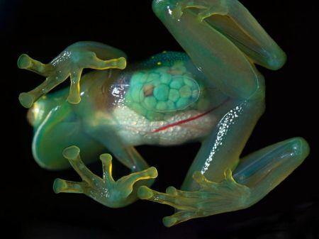 Лягушка с прозрачной кожей (стеклянная лягушка (латинское название - Centrolenidae) (8 фото + 2 видео)