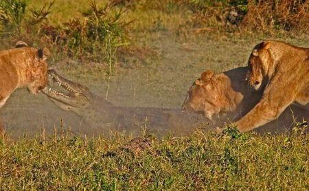 Крокодил, против трёх львов (9 фото)
