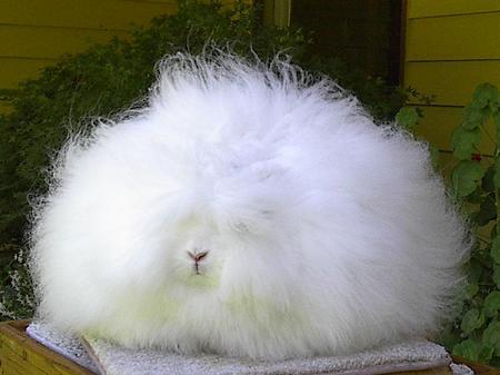 Ангорский кролик (10 фото)