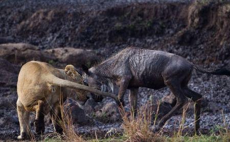 Молодая антилопа гну против львов (5 фото)