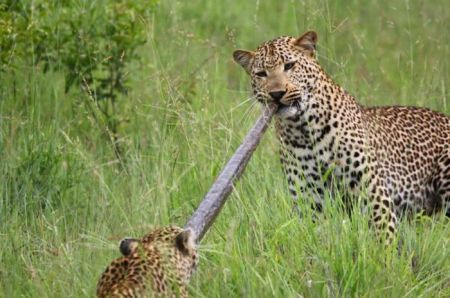 Леопарды развлекаются питоном (3 фото)