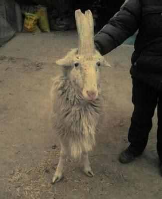 Коза или единорог? (6 фото)