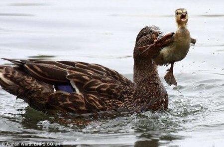 Утка наказывает утёнка (4 фото)