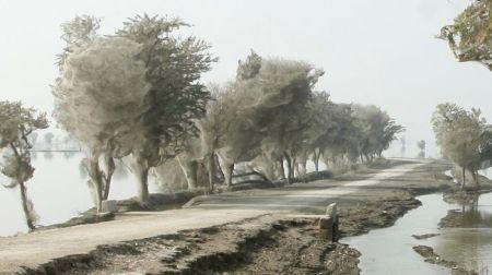 Пауки захватывают деревья (8 фото)
