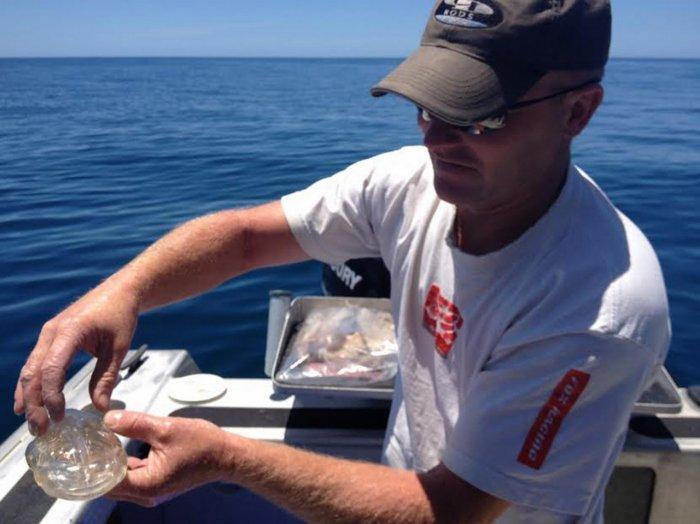 Прозрачная рыбка Сальпа