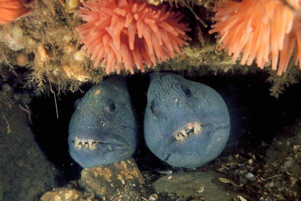 Морской волк, Зубатка полосатая (Anarhichas lupus)
