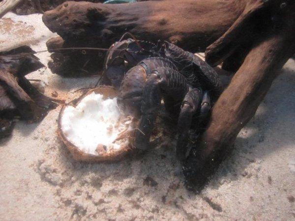 Кокосовый краб (лат. Birgus latro)