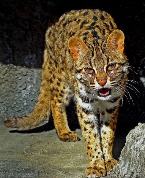 Азиатский леопард - Леопардовая кошка (Prionailurus Felis)
